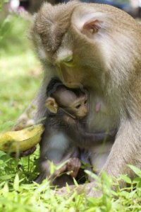 11623225-baby-monkey-with-mother-in-wild